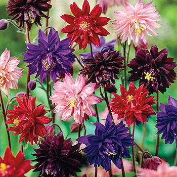 Barlow Columbine Mixture