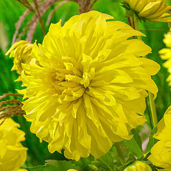 Spartacus Yellow Dinnerplate Dahlia