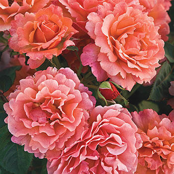 Easy Does It<sup>®</sup> Floribunda Rose