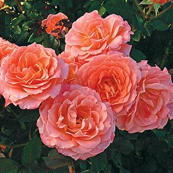 Jump for Joy<sup>®</sup>  Floribunda Rose