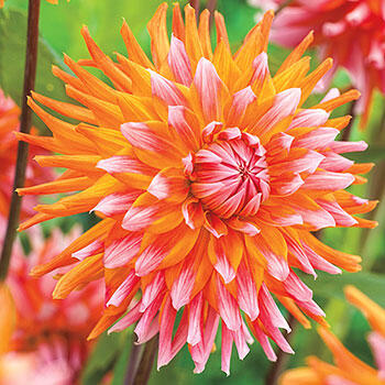 Orange Turmoil Dahlia