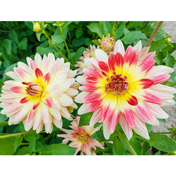 Tropical Sunset Dahlia