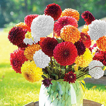 Giant Ball Dahlia Mixture
