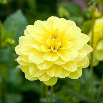 Glory of Heemstede Dahlia
