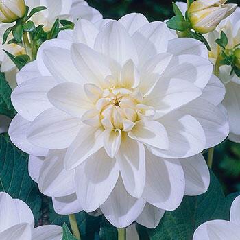 White Onesta Dahlia