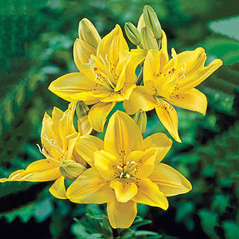 Fata Morgana Asiatic Lily
