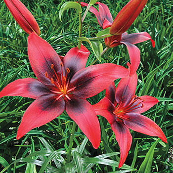 London Heart<sup>®</sup> Asiatic lily