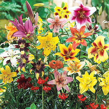 All Season Lily Mixture