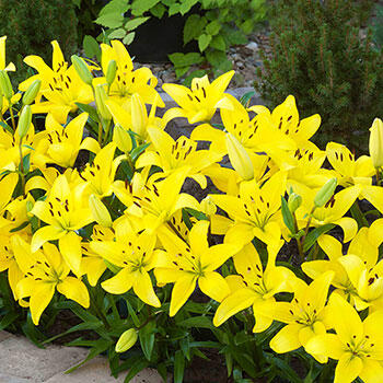 Yellow Carpet Border Lilies