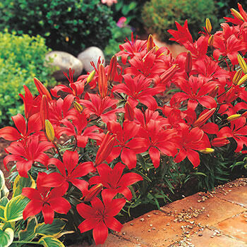 Red Carpet Border Lily™