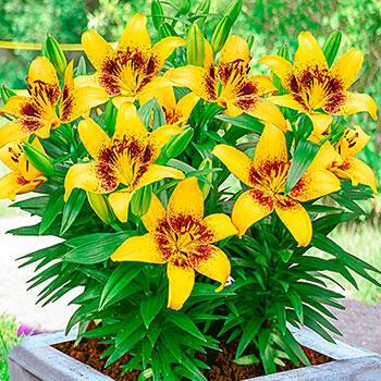 Joao Pessoa Carpet Border Lily™