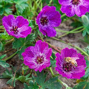 Jolly Jewel® Lilac Geranium