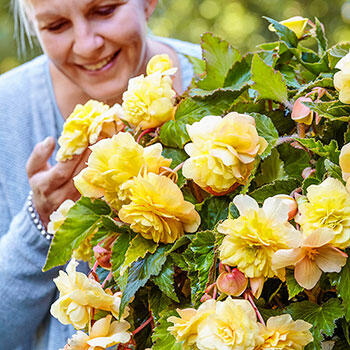 Sunny Dream Fragrant Hanging Begonia
