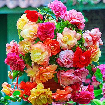 Splendid Begonia Mixture