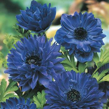 Blue Daisy Anemone