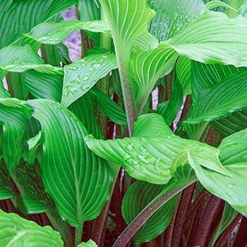 Shop Hosta Plants At Brecks