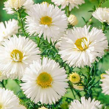 White Ladies Belgian Aster