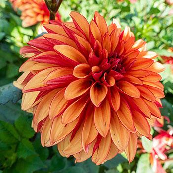 Tangerine Queen Dahlia