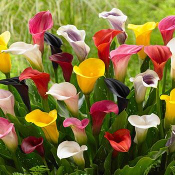 Multi-Color Calla Lily Mixture