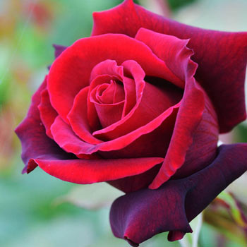 Lasting Love® Hybrid Tea Rose