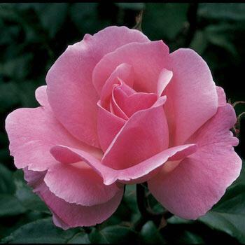 Queen Elizabeth Grandiflora Rose