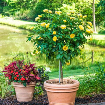 Sparkle & Shine™ Tree Rose