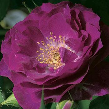 Wild Blue Yonder™ Grandiflora