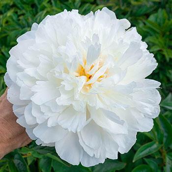White Sarah Bernhardt Peony