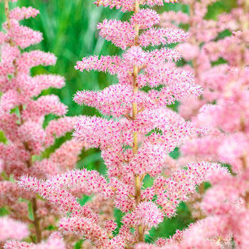 Wedding Candles Astilbe