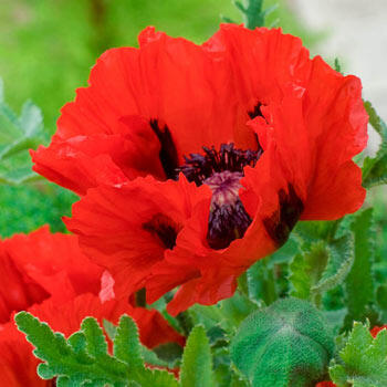 Red Pearl Oriental Poppy