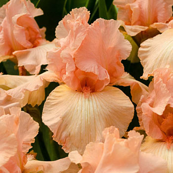 Beverly Sills Tall Bearded Reblooming Iris