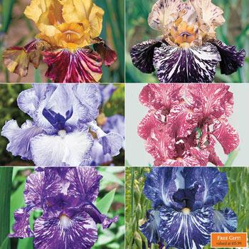 Renowned Batik Iris Collection
