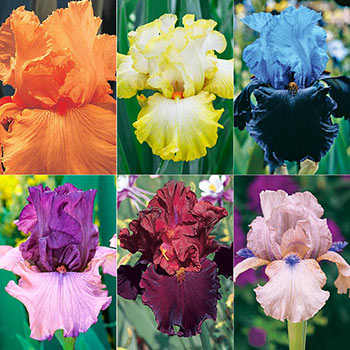 Spring Spectrum Iris Collection