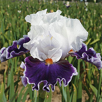 Merry Amigo Bearded Iris