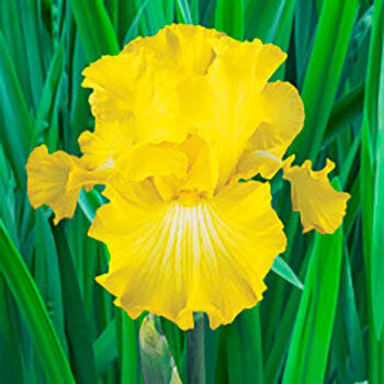 Bold Look Bearded Iris