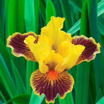 Zooboomafoo Dwarf Bearded Iris