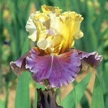 Final Episode Reblooming Bearded Iris
