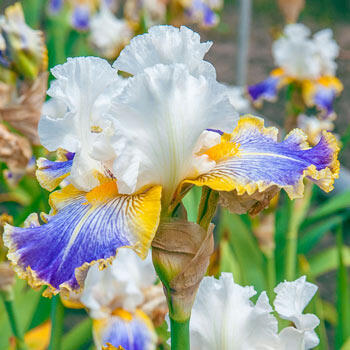 Pewter and Gold Bearded Iris