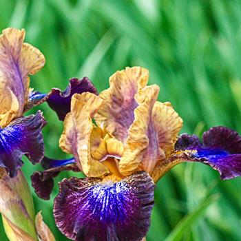 Parting Glances Bearded Iris
