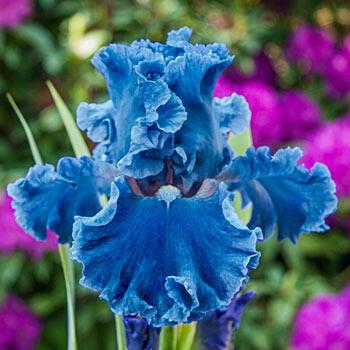 Bubbling Waves Ruffled Iris