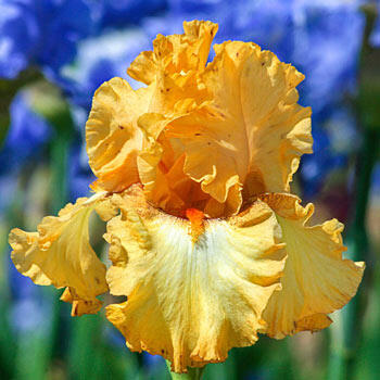 Butterlicious Bearded Iris