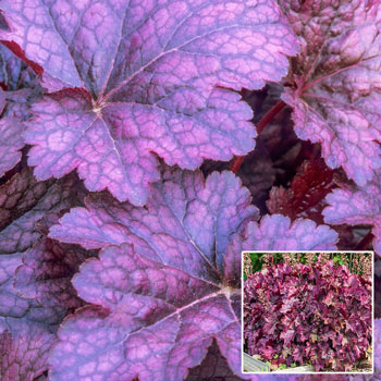 Palace Purple Heuchera (Coral Bells)