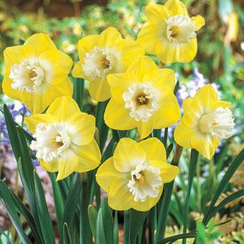 Snow Frills Daffodil