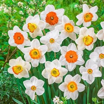 Pride & Joy Daffodil Mixture