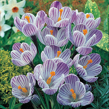 Pickwick Giant Dutch Crocus