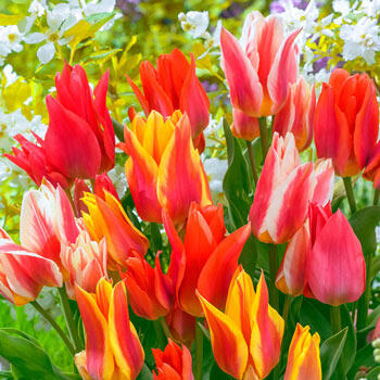 All Fired Up! Tulip Mixture