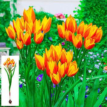 Sunshine Reggae Tulip