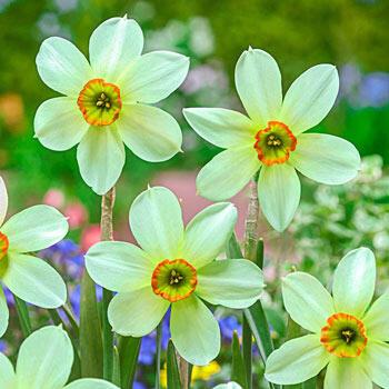 Viridiflora Daffodil