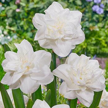 White Medal Daffodil