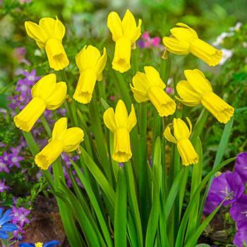 Rapture Daffodil